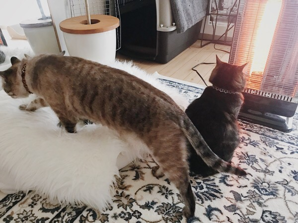 ジーナ(キジトラ猫)とムク(シャムトラ猫)もやって来た。