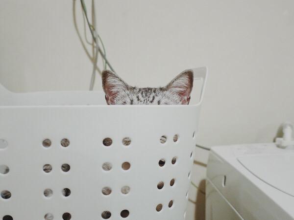 洗濯カゴの中に隠れている猫の耳。