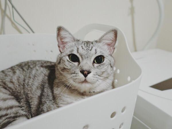 洗濯カゴの中でくつろいでいる猫。