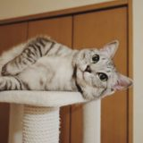 キャットタワーの上で横になっているテト(サバトラ猫)。
