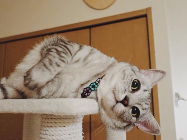 キャットタワーに顔を擦りつけている猫。