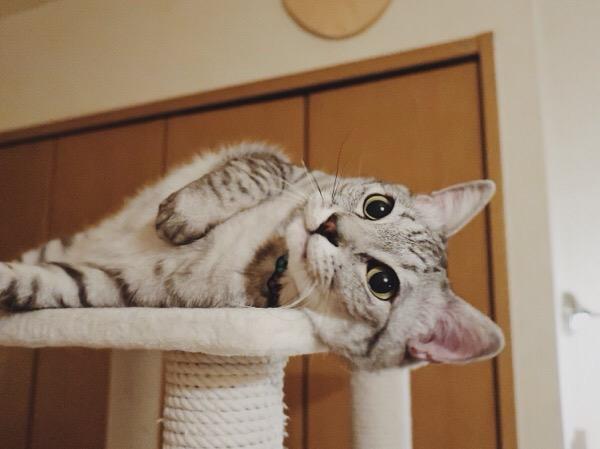 顔と体をキャットタワーに擦りつけている猫。
