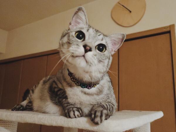 体を起こして遠くを見ているテト(サバトラ猫)。