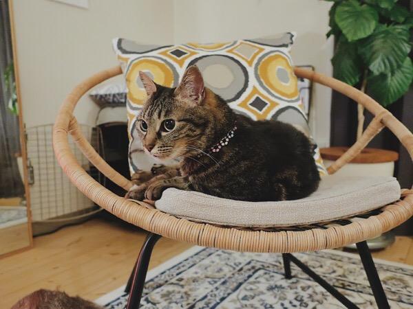 ラタンチェアの上でくつろぐジーナ(キジトラ猫)。