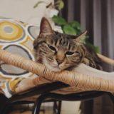 ラタンチェアのふちにアゴを乗せている猫。