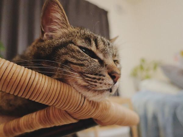 まどろむ猫。
