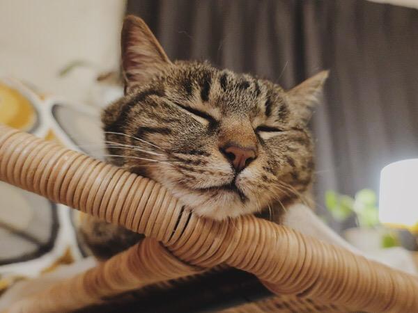 気持ち良さそうに目を閉じるジーナ(キジトラ猫)。