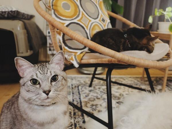 不服そうな顔のテト(サバトラ猫)と、イスで寝ているジーナ(キジトラ猫)。