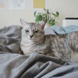 ベッドの上で横たわってる猫。