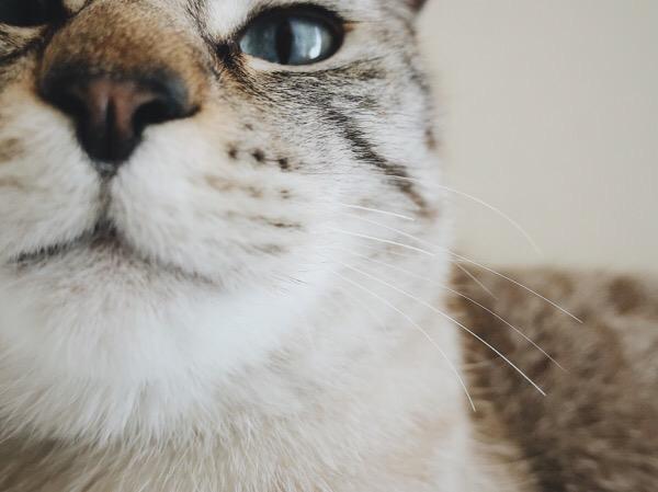 猫のマズルとヒゲのアップ。