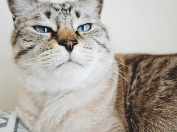 丸顔の猫。