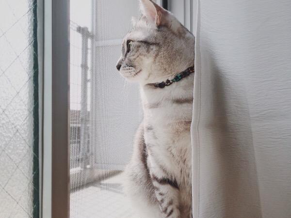 網戸越しに遠くを見ているテト(サバトラ猫)。