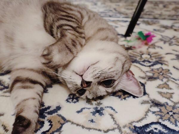 仰向けになってるテト(サバトラ猫)。