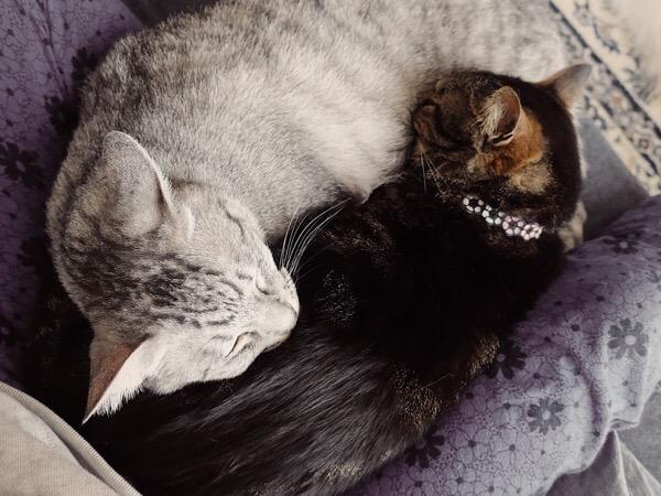 お互いを枕にしあって眠る2匹の猫。