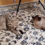遊び疲れて横たわっている猫たち。