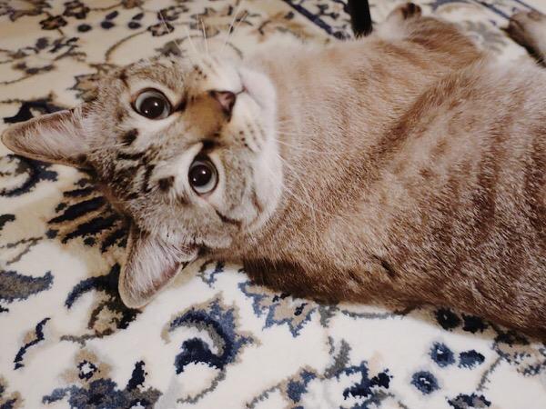目がキラキラしてるムク(シャムトラ猫)。