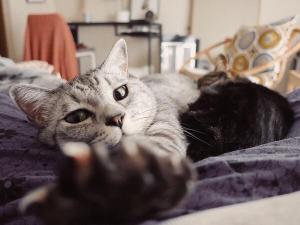 前脚を伸ばしているテト(サバトラ猫)。