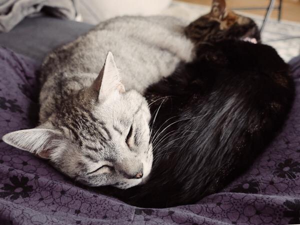 寝ているテト(サバトラ猫)とジーナ(キジトラ猫)。