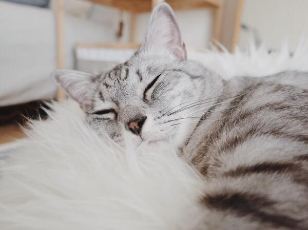 テト(サバトラ猫)の寝顔。