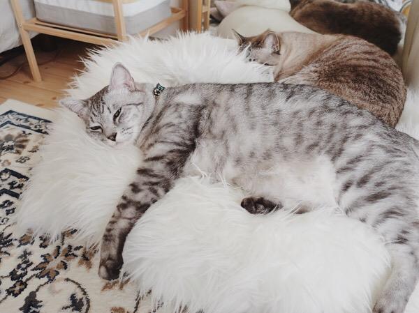 フェイクムートンのラグの上に横たわっている巨猫。