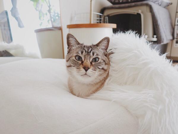 ムートンラグの下に潜って顔だけ出してる猫。