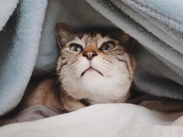 ブランケットをめくられてビックリ顔の猫。