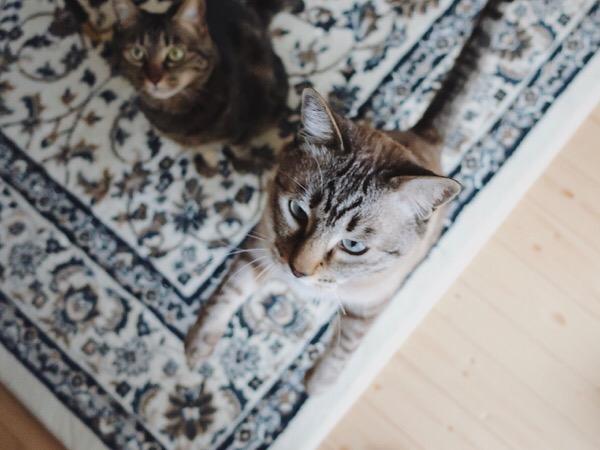 飛びかかってきそうな勢いの猫。