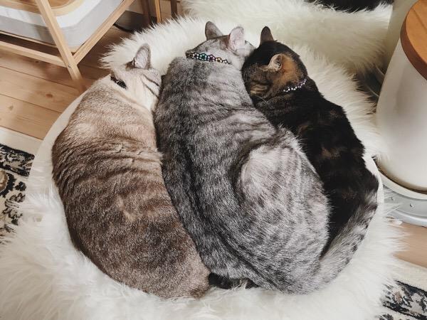 強引に2匹の真ん中に割り込んできたテト(サバトラ猫)。