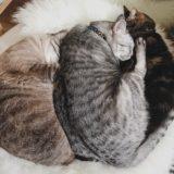 テト(サバトラ猫)に押されてベッドからはみ出そうなジーナ(キジトラ猫)。