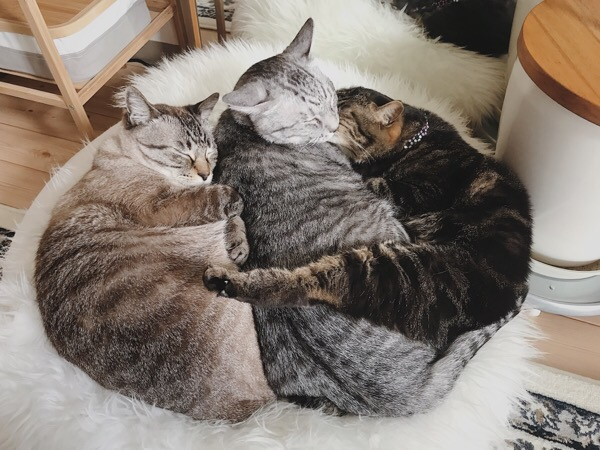 オス猫たちを押し返すジーナ(キジトラ猫)。