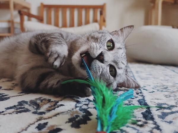 ダバードの羽根に噛みつくテト(サバトラ猫)。