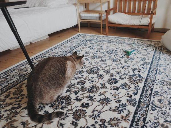 おもちゃを狙ってお尻フリフリしている猫。