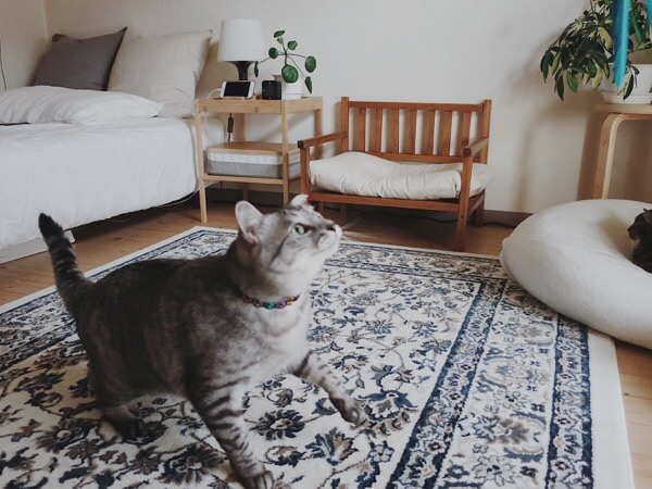 ダバードを追いかけるテト(サバトラ猫)。