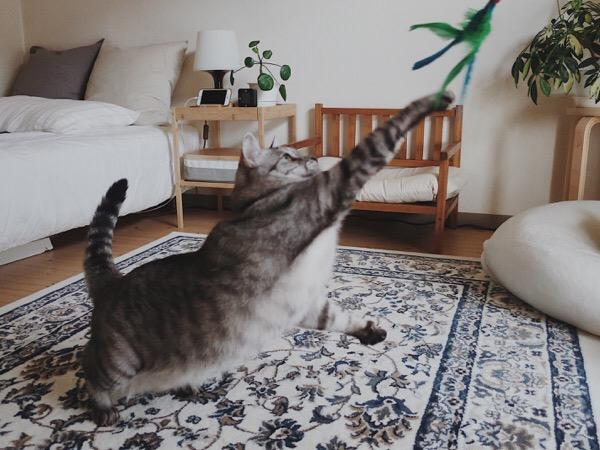 ダバードにパンチするテト(サバトラ猫)。
