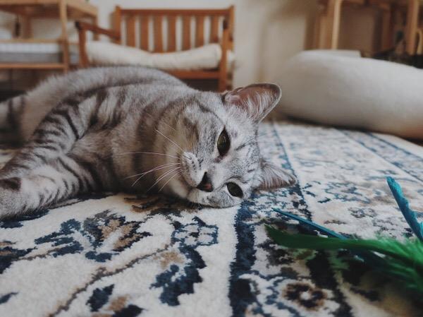 寝転がってダバードを見つめるテト(サバトラ猫)。