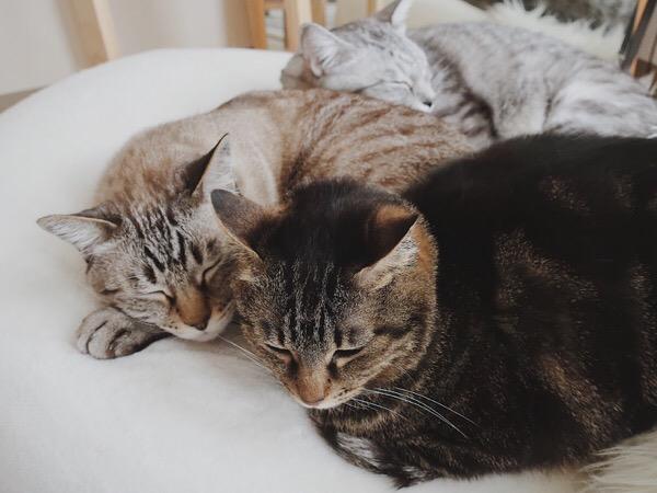 3匹くっついて昼寝している猫たち。