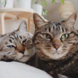 ジーナ(キジトラ猫)とムク(シャムトラ猫)。
