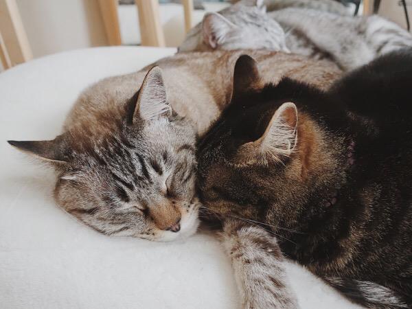ムク(シャムトラ猫)のほっぺに顔をつっこんでいるジーナ(キジトラ猫)。