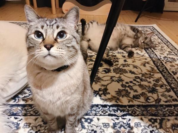 お座りしてるムク(シャムトラ猫)と、その後ろで寝転がってるテト(サバトラ猫)。
