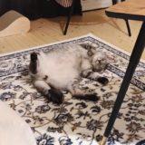 床の上に寝っ転がってる猫。