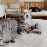 横たわるテト(サバトラ猫)。