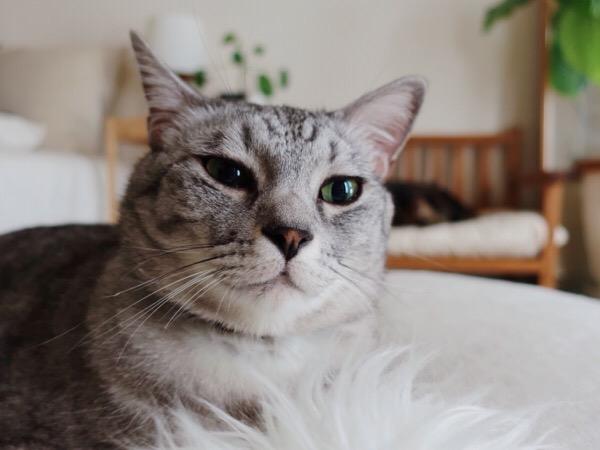 アンニュイな表情の猫。