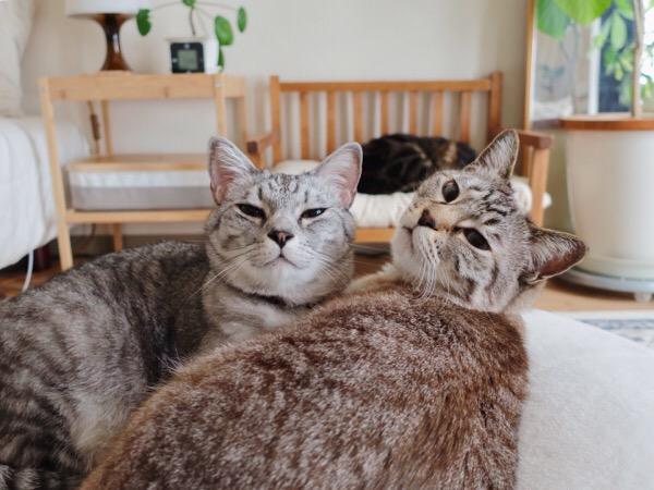 テト(サバトラ猫)とムク(シャムトラ猫)。