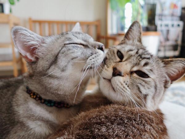 ムク(シャムトラ猫)を可愛がるテト(サバトラ猫)。
