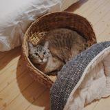 なぜかクッションをベッドの外に押し出してしまうムク(シャムトラ猫)。
