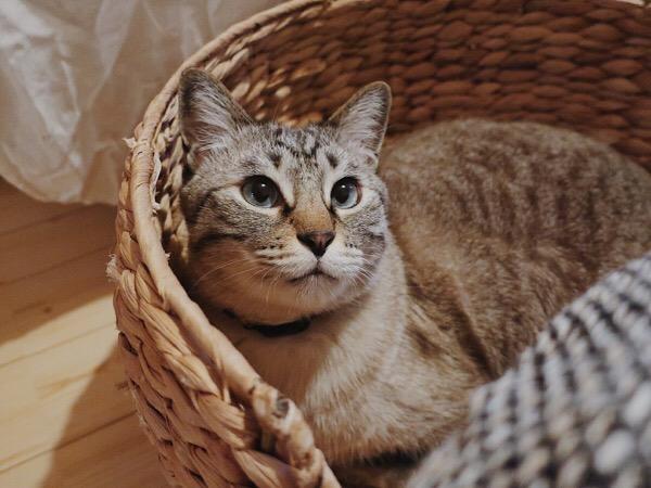 ラタンのカゴベッドに収まってる猫。
