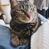 飼い主の膝の上にいる猫。