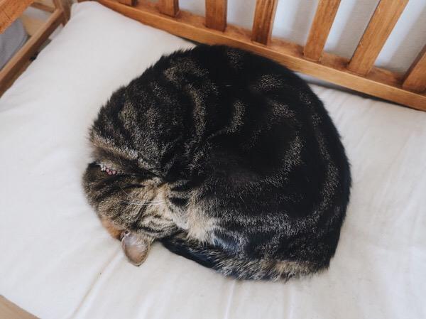 キジトラ猫のアンモニャイト。