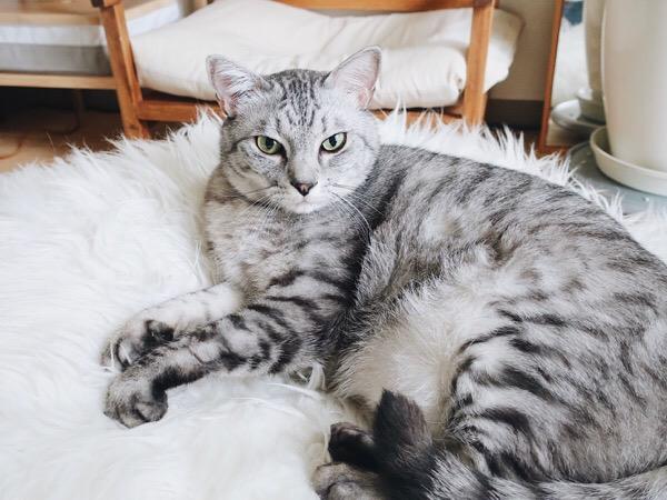 キリッとした顔のテト(サバトラ猫)。
