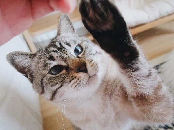 毛玉にタッチしようとする猫。